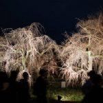 二条城桜まつり2018!ライトアップの時間と開催期間について
